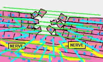 Nerve2.gif (19947 bytes)